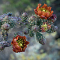 Staghorn Cholla Bloom by Chance Kafka