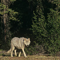 Stalking Gray Wolf Northwest Territories Canada by Dave Welling