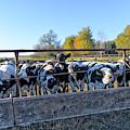 Steers by Jim Thompson