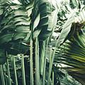Strelitzia Nicolai Giant Bird Of Paradise by Sharon Mau