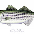 Striped Bass by Charles Harden