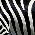 Stripes On Zebra, Extreme Close-up by Medioimages/photodisc