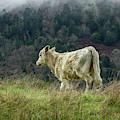 Strolling Bovine by Jon Exley