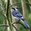 Such A Pretty Blue Jay by Trina Ansel