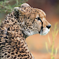 Sudan Cheetah by Arterra Picture Library