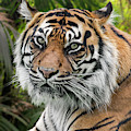 Sumatran Tiger In Forest by Arterra Picture Library