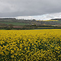 Summer Field Of Rapeseed by Siobhan Dempsey