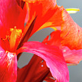 Summer Lilly Pink by Annette Persinger