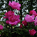 Summer Roses by Phil Banks