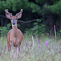 Summer Young Buck 1 by Brook Burling