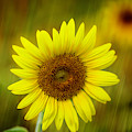 Sunflower And A Hint Of Rain by Sabrina L Ryan