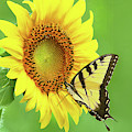 Sunflower And Swallowtail by Regina Geoghan