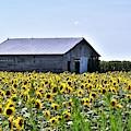 Sunflower Barn by Kim Bemis