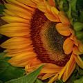 Sunflower Beauty by Judy Hall-Folde