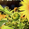 Sunflower Bloom by Martina Schneeberg-Chrisien