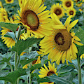 Sunflower Diptych Two by Cricket Hackmann