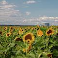Sunflower Farm by Cory Huchkowski