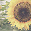 Sunflower Haze by Colleen Kammerer