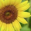 Sunflower Love by Sabrina L Ryan