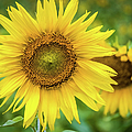 Sunflower by Lyl Dil Creations