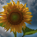 Sunflower Magical Dreams by Dale Powell