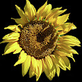 Sunflower On Black by Alison Frank
