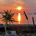 Sunflower Overlooking Salem Harbor At Sunrise Salem Ma by Toby McGuire