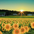 Sunflower Sunset by Martina Schneeberg-Chrisien