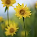 Sunflower  by Vincent Bonafede