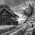 Sunflower Watch In Black And White by Debra and Dave Vanderlaan
