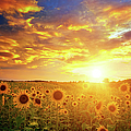 Sunflowers Field And Sunset Sky by Avalon studio