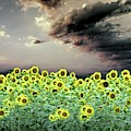Sunflowers Fields Of Windsor Castle by Angelcia Wright