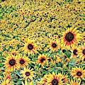 Sunflowers In Kansas by Don Barrett
