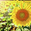 Sunflowers by Robert Bellomy