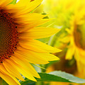 Sunflowers by Sj Travel Photo And Video