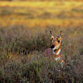 Sunset Pronghorn by Pete Federico