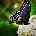 Swallowtail Butterfly by Max Huber