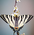 Swallowtail by Marco Fischer