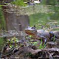 Swamp Gator by Susan Rissi Tregoning