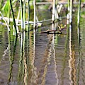 Swamp Water Abstract With Reeds Reflection by Carol Groenen