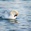 Swan by Christine Sponchia