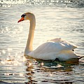 Swan On Golden Waters by Top Wallpapers