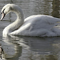 Swan On The Lake by Jeremy Hayden