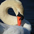 Swans Beauty by Karol Livote