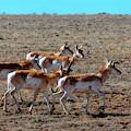 Sweet Herd Of Pronghorn Antelope by Steve Krull
