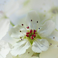 Sweet Pear Blossom by Marie Leslie