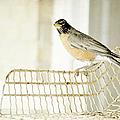 Sweet Robin by Kim Klassen Photography