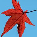 Sweetgum Leaves Df008 by Gerry Gantt