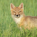 Swift Fox Portrait by Judi Dressler