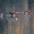 Swimming Wood Ducks Reflection by Dan Sproul